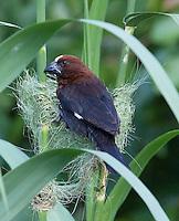 Weaver bird building his nest