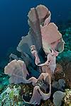 Elephant ear sponge (Ianthella basta)
