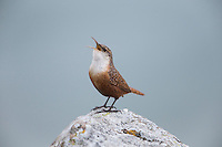 Canyon Wren (Catherpes mexicanus conspersus) singing on Morro Rock in Morro Bay, California.