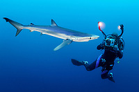 Blue Shark, Prionace glauca, in side view with diver in the background filming the shark with a video camera, offshore, Cape Point, Cape Town, False Bay, South Africa, Atlantic Ocean, Indian Ocean