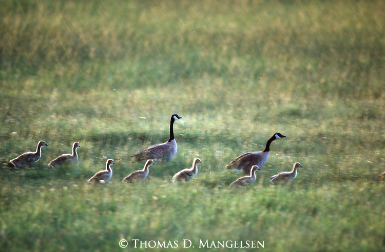 3027 001  Summer Showers - Canadian Geese (Branta candensis) Gray's Lake National Wildlife Refuge, ID..#PRINT-3027.00