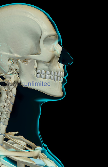 A lateral view (right side) of the bones of the head and face. The surface anatomy of the body is semi-transparent and tinted green. Royalty Free