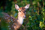 Spotted Deer or Chital, Axis axis, female in woodland, Corbett National Park, Uttarakhand, Northern India.India....