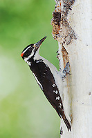Hairy Woodpecker, Picoides villosus,adult male at nesting cavity in aspen tree,Rocky Mountain National Park, Colorado, USA, June 2007