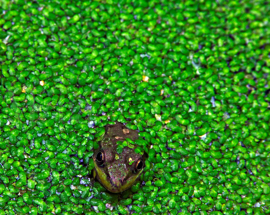 Green frog and duckweed, Red Cedar Wildlife Area, Muscatine County, Iowa