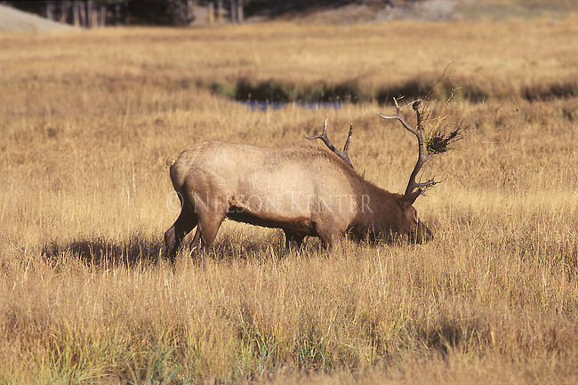 Bull elk in rut throws up sod with his antlers