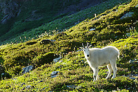 Mountain goat in 11 Bull Basin, Bailey Range, Olympic Mountains, Olympic National Park, Washington