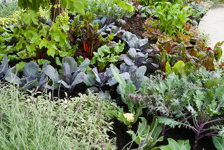 Pretty vegetable garden growing with colorful ornamental varieties , such as blue cabbage, bright lights chard, Russian Red kale, grapes,herbs