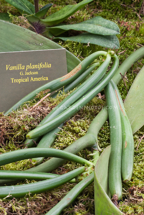 Orchid: Vanilla beans plant with sign tag label, vanilla bean pods on vine. Commercial source of vanilla flavoring.
