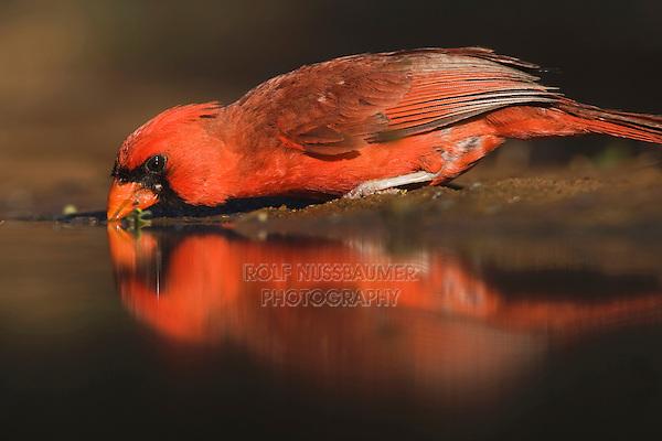 Northern Cardinal (Cardinalis cardinalis),male drinking, Rio Grande Valley, Texas, USA