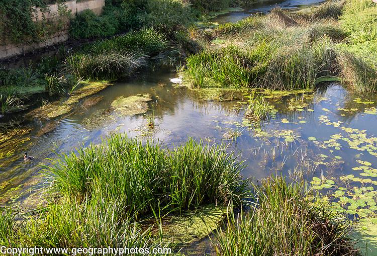 River Avon in the town centre of Melksham, Wiltshire, England, UK swan in reeds