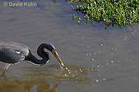 0127-08qq  Tricolored Heron Hunting for Prey with Fish in Beak, Louisiana heron, Egretta tricolor [See Sequence of Images, 0127-08pp, 0127-08qq, 0127-08rr]  © David Kuhn/Dwight Kuhn Photography