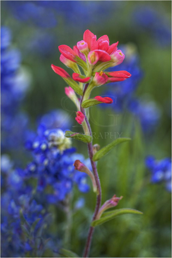 All alone, I found this Indian paintbrush standing in a field of Texas bluebonnets. I tried to isolate the red of the paintbrush againt the blue of the bluebonnets. This was a small Texas wildflower field, but the colors were vibrant on this early morning Spring day in the Texas Hill Country