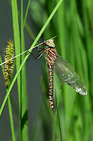 339600008 a wild teneral male shadow darner aeshna umbrosa perches on bogside water plants in central modoc county california