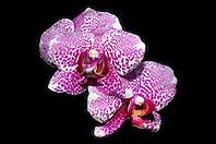 orchids, Hilo, Big Island, Hawaii