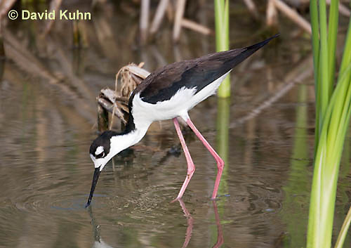 0905-0908  Black-necked Stilt Wading in Marsh Hunting for Prey, Himantopus mexicanus (formerly Ephippiorhynchus asiaticus) © David Kuhn/Dwight Kuhn Photography