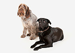 Italian Spinone & Black Labrador Dogs together