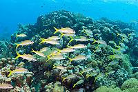 Yellow goatfish, Mulloidichthys martinicus, Bonaire, Caribbean Netherlands, Caribbean