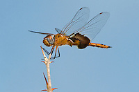388550002 a wild female red saddlebags dragonfly tramea onusta perched on a tall branch in hornsby bend travis county texas