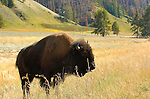 Bison, Hayden Valley, Yellowstone National Park, Wyoming