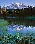 Mt. Rainier National Park, WA     <br /> Morning light on the summit of Mount Rainier with reflection on the calm surface of Reflection Lake and spirea blooming in foreground
