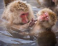 Jigokudani National Monkey Park, Nagano, Japan<br /> Japanese Snow Monkeys grooming (Macaca fuscata) in hot spring waters of Jigokudani monkey park in the Yokoyu River valley