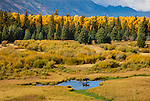 Grand Teton National Park, WY: Moose wading through one of the small ponds at Blacktail Ponds in fall