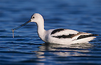 American Avocet (Recurvirostra americana), adult winter plumage, Rockport, Texas, USA, December 2003