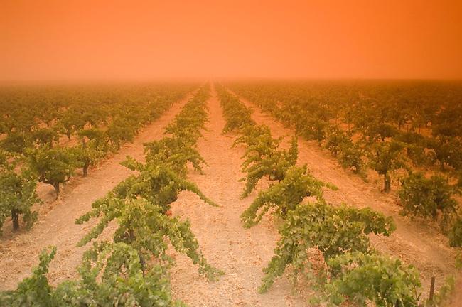 Vineyard in fog