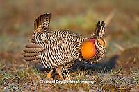 00842-03619 Greater Prairie-Chicken (Tympanuchus cupido) male booming/displaying on lek Prairie Ridge State Natural Area Jasper Co, IL