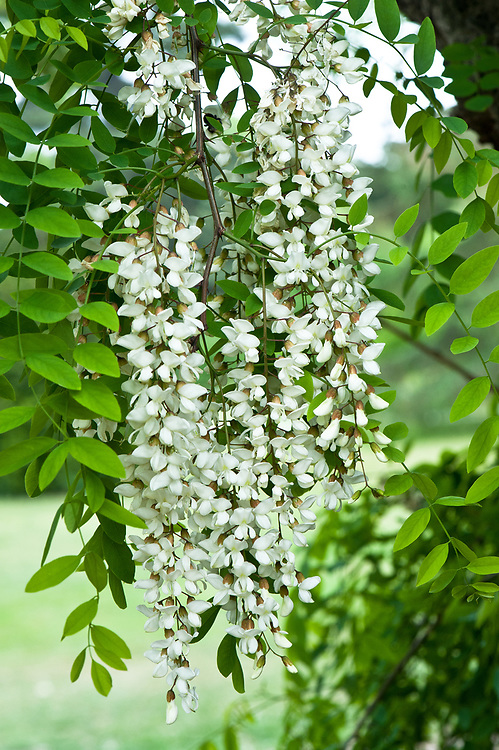Flowers of Robinia pseudoacacia (Black locust tree), mid May.