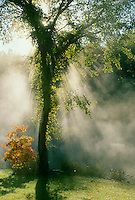 Two trees- slippery elm and orange sassafrass backlit by sunrise as mist rises off lake, Midwest USA