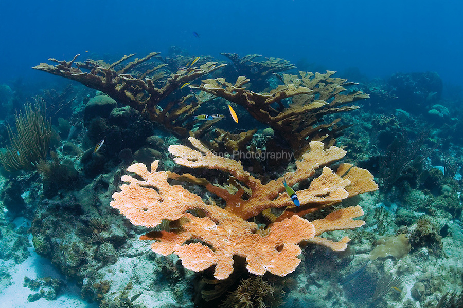 A stand of endangered Elkhorn Coral at the Swan Islands off the coast of Honduras.
