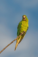 566700078 a wild green parakeet aratinga holochlora perched in a tree in laredo webb county texas united states