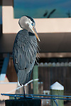 A blue heron sits serenely atop a piling in the marina at Tarpon Springs, Florida, USA.