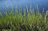 1G06-006d  Cord Grass - tall form, stream side habitat, Atlantic Coast  - Spartina alterniflora
