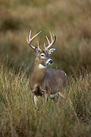 White-tail deer (Odocoileus virginianus)