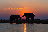 Two bull Elephants take a break from feeding to exchange a gesture of friendship. They were so quiet. Just a very peaceful moment accentuated by the wonderful light.