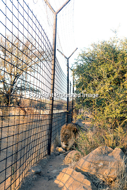 A male lion rests at Boskoppie Lion and Tiger reserve on August 7 2015 in Kroonstad. South Africa. The farm has about 100 lions, some tigers and a few jaguars. South Africa has hundreds of breeding farms for lions and many of the animals are sold to hunting companies that use them for canned hunting. There are about 8000 lions in captivity and only around 2000 in the wild in South Africa. (Photo by: Per-Anders Pettersson)