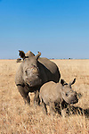 Dehorned white rhino with calf (Ceratotherium simum) on rhino farm, Klerksdorp, North West Province, South Africa, June 2012