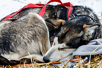 A Brett Bruggeman dog sleeps at the Kaltag checkpoint on Sunday afternoon March 10th during the 2019 Iditarod Trail Sled Dog Race.<br /> <br /> Photo by Jeff Schultz/  (C) 2019  ALL RIGHTS RESERVED