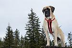 Frankie, English Mastiff