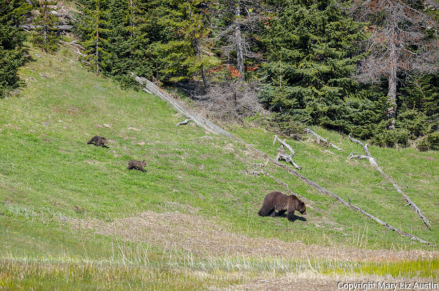 Yellowstone National Park, WY: Grizzly bear sow (Ursus arctos) and two cubs on a hillside.