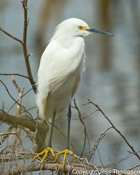 Snowy Egret, Choke Canyon State Park, TX