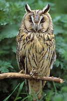 Waldohreule, Waldohr-Eule, Asio otus, long-eared owl