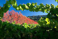 Sweetgum trees in fall color as seen through grape vines in vineyard. Near Gyserville, California