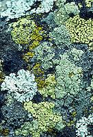 Schakering van kleurig korstmos op toendra stenen