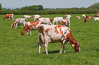 Ayrshire dairy cows grazing, Marthall, Cheshire.