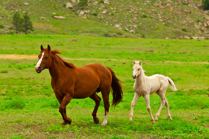 Quarter horses running in Hell's Canyon, Black Hills Wild Horse Sanctuary near Hot Springs, South Dakota USA