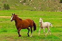 Quarter horses running in Hell's Canyon, Black Hills Wild Horse Sanctuary near Hot Springs, South Dakota USA